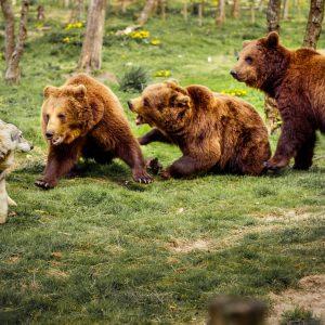 Boze beren vallen wolf aan